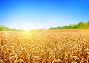 champ-de-blé