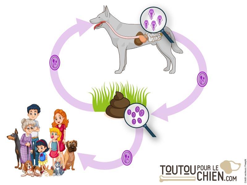 Le cycle de vie de Giardia