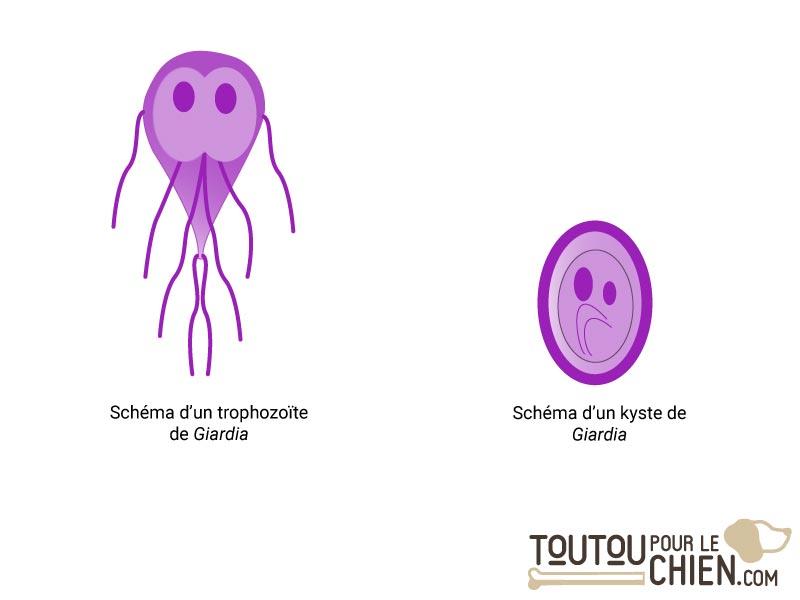 Schéma de Giardia