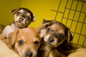 contraception chien