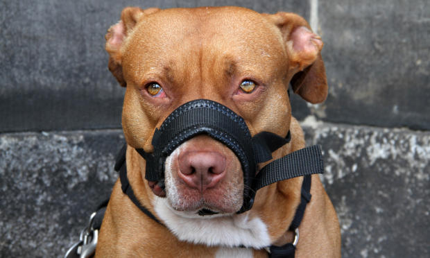 Habituer son chien au port de la muselière - Tout ce qu'il