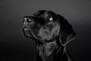 Philae est un labrador femelle noir