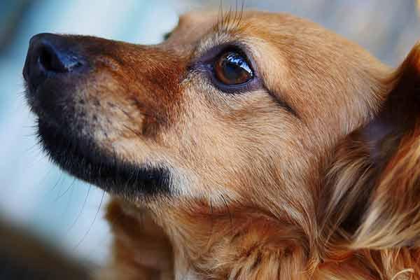 conjonctivite chez le chien