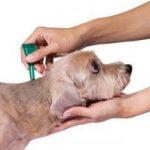 piroplasmose chien tique