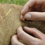acupuncture-chien