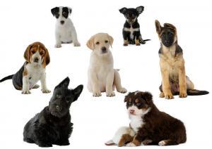 races de chien bien choisir. Black Bedroom Furniture Sets. Home Design Ideas