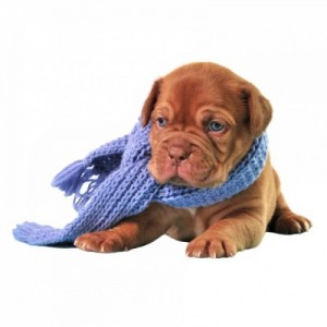 chien-froid