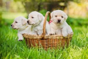 gestation chienne
