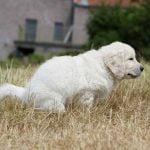 Diarrhée chez le chien
