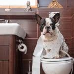 calculs urinaire des chiens