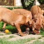 alimentation barf chien