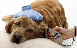 diabete chien