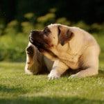 eczema du chien
