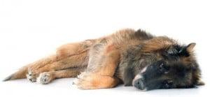 euthanasie chien