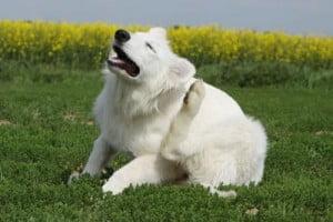 gale du chien