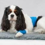 inconvénients de la castration du chien