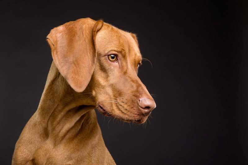 Les inconvénients de la stérilisation chez le chien
