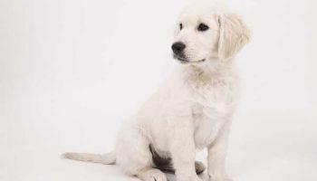 apprendre l'ordre assis à son chien