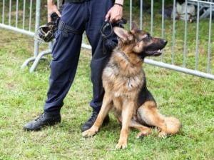 chien policier déserteur