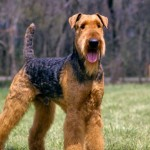 Race Airedale Terrier