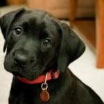 médaille d'identification chiens