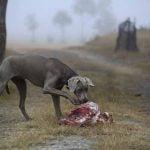 raw feeding pour chien
