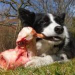 raw feeding chien