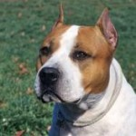 Race American Staffordshire Terrier