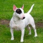 Race Bull Terrier