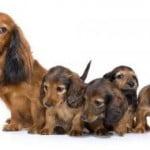 alimentation de la chienne gestante