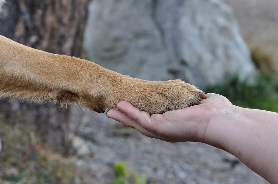 chien blessé à la patte