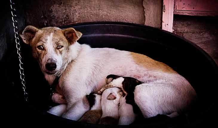 Une chienne qui attend des petits à des besoins nutritionnels spécifiques
