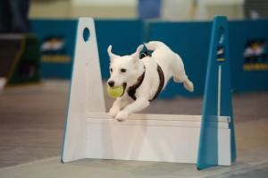 sport canin flyball