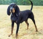 Race Black-and-Tan-Coonhound