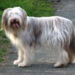 Race Chien Bearded Collie