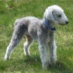 Race Bedlington Terrier
