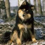 Berger finnois de Laponie