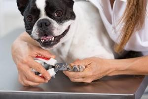 blessure griffe ongle chien