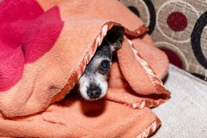 chien hypothermie froid
