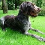 Race chien Braque Allemand à poil raide