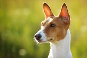 agressivité prédatrice du chien