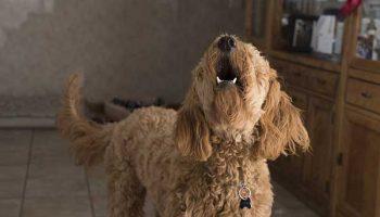 apprendre à son chien à aboyer