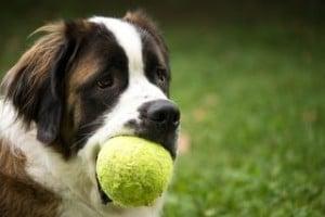 Apprendre l'ordre donne ou lâche à son chien
