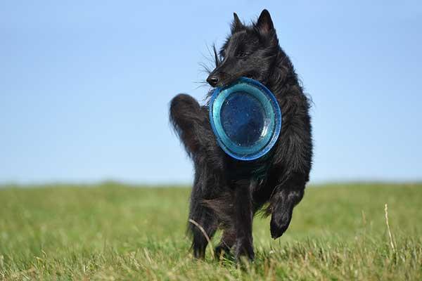 jouer au frisbee avec son chien