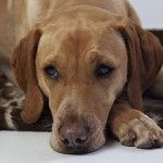 hypoglycémie chien