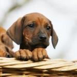 reproduction médicalement assistée de la chienne