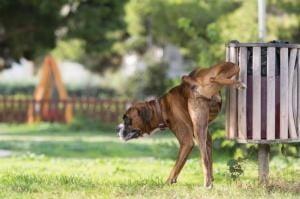 marquage territoire urine chien