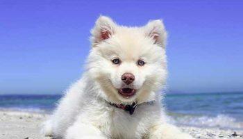danger de l'été pour le chien
