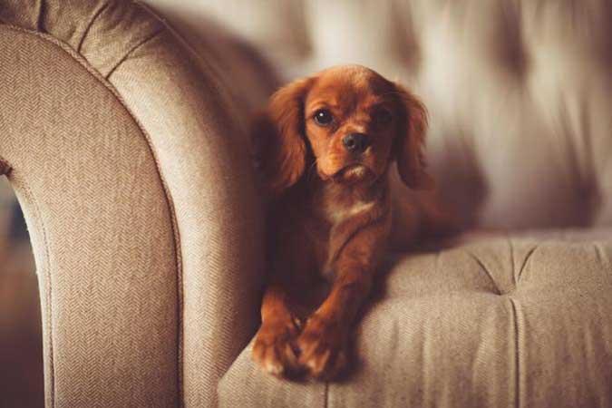 mon chien monte sur le canapé