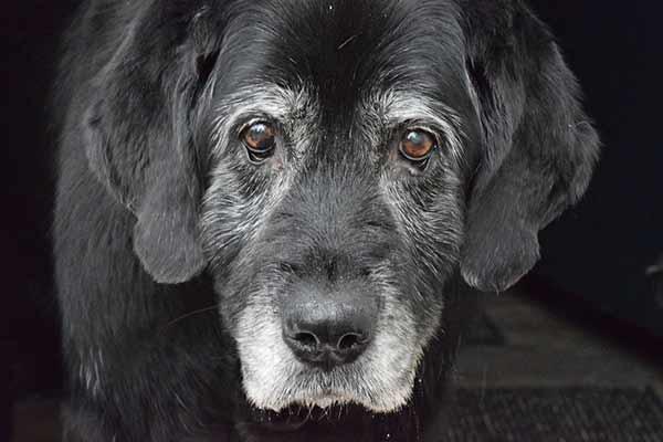 couche urinaire pour vieux chien